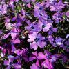 Phlox subulata 'Purple Beauty' - Árlevelű lángvirág