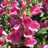 Digitalis purpurea 'Virtuoso Red' - Piros gyűszűvirág