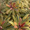 Euphorbia 'Ascot Rainbow' - Kutyatej