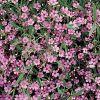 Gypsophila repens 'Filou Rose' - Havasi fátyolvirág