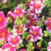 Helianthemum 'Raspberry Ripple' - Napvirág