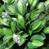 Hosta 'Gypsy Rose' - �rny�kliliom