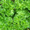 Petroselinum crispum - Petrezselyem