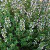 Thymus vulgaris 'Compactus' - Kerti kakukkfű