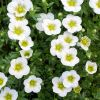 Saxifraga x arendsii 'Touran Large White' - Arends k�t�r�f�