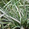 Phalaris arundinacea 'Feesey' - Pántlikafű