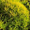 Sagina subulata 'Lime Moss' - Szálkás zöldhúr