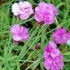 Dianthus gratianopolitanus 'Pink Jewel' - Pünkösdi szegfű