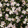 Gypsophila repens 'Filou White' - Havasi fátyolvirág