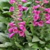 Digitalis purpurea 'Virtuoso Rose Compact' - Gyűszűvirág