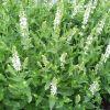 Salvia nemorosa 'Sensation White' - Ligeti zsálya