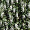 Salvia superba 'Merleau White' - Ligeti zsálya