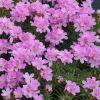 Armeria juniperifolia - Borókalevelű pázsitszegfű