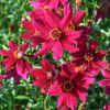 Coreopsis 'Limerock Ruby' - Menyecskeszem