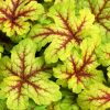 Heucherella  'Alabama Sunrise' - Turbáncső