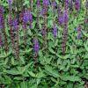 Salvia nemorosa 'Caradonna' - Ligeti zsálya