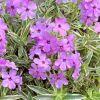 Phlox procumbens 'Variegata' - Csomós lángvirág