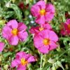 Helianthemum 'Ben Hope' - Napvirág