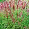 Miscanthus sinensis 'Red Chief' - Virágosnád