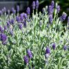 Lavandula angustifolia 'Aromatico Blue' - Orvosi levendula
