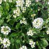 Draba ramosissima - Havasi daravirág