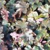 Heucherella 'Burnished Bronze' - Turbáncső