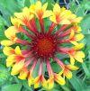 Gaillardia 'Fanfare Bicolor' - Kokárdavirág