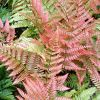 Dryopteris erythrosora - Japán pajzsika