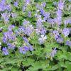 Geranium 'Philippe Vapelle' - Gólyaorr