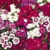 Dianthus barbatus 'Dash F1 Mix' - Török szegfű