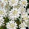 Iberis sempervirens 'Appen-Etz' - Örökzöld tatárvirág