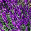 Lavandula angustifolia 'Hidcote Blue' - Orvosi levendula