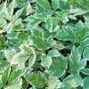 Aegopodium podagraria 'Variegata' - Tarka podagrafű