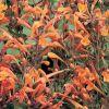 Agastache aurantica 'Apricote Sprite' - Izsópfű