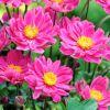 Anemone x hybrida 'Margarete' - Kerti szellőrózsa