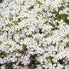 Aubrieta x hybrida 'Regado White' - Pázsitviola