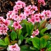 Bergenia cordifolia 'Flirt' - Szívlevelű bőrlevél