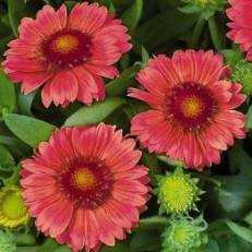 Gaillardia aristata 'Arizona Red Shades' | Kokárdavirág